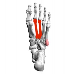 foot metatarsals